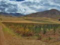Quinoa-during-biking-tour-near-Cusco
