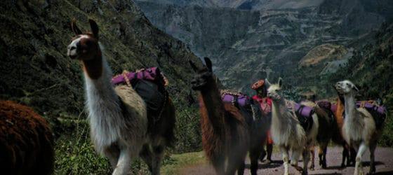 Llamas in peruvian Andes