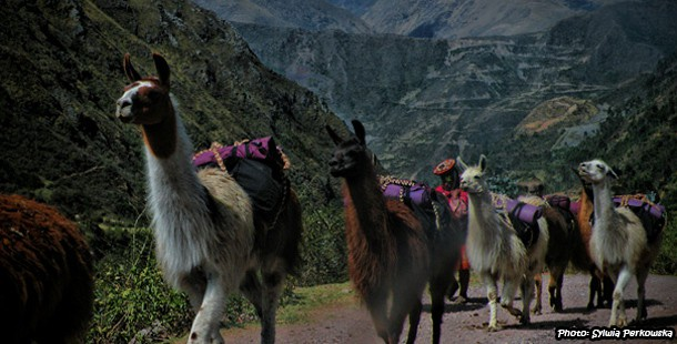 Llamas, alpacas and cows in peruvian landscapes