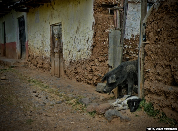Peruvian pigs in the Andas