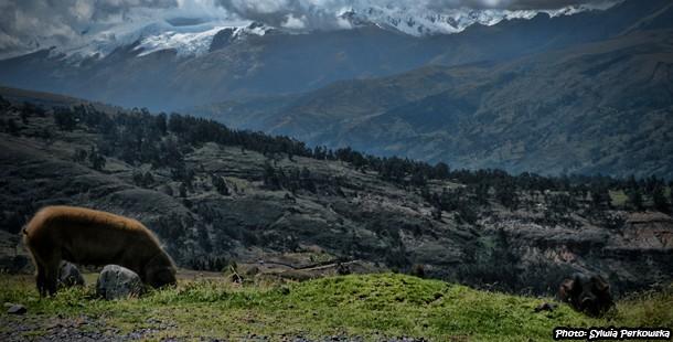 Jak wygląda życie peruwiańskich świń w Andach?