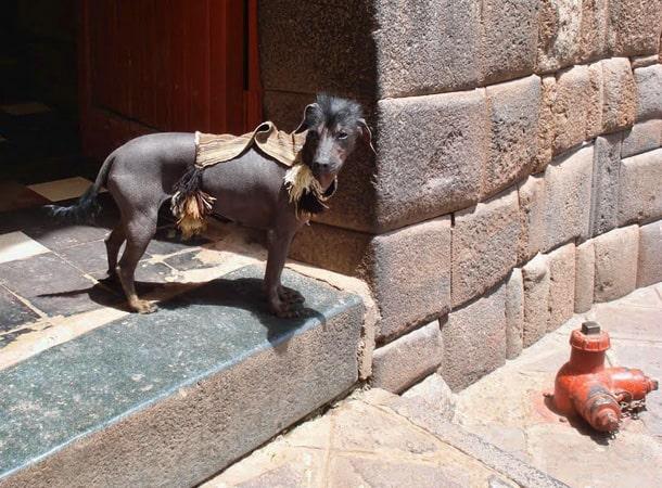 - Perro Sin Pelo del Peru