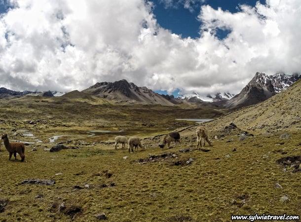 llamas and alpacas during ausangate trek