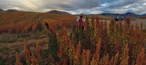 Quinoa plantations on the way to Moray and Maras