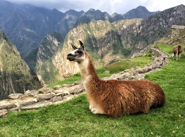 Llama-in-Machu-Picchu