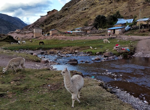 Alpaca during Lares trek