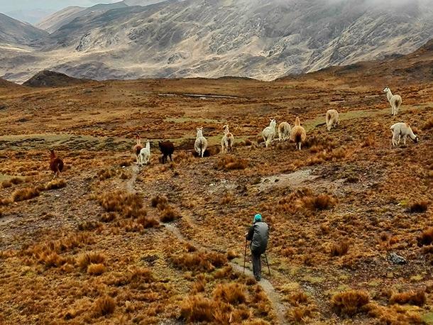 Wyprawy trekkingowe w Peru, alpaki na trasie