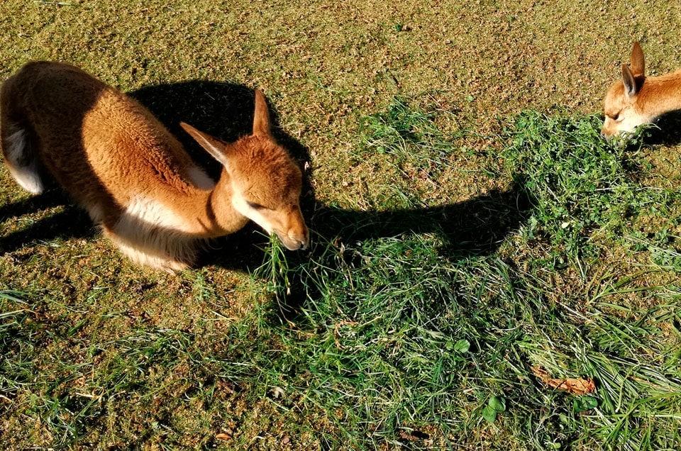 Peru vicuña