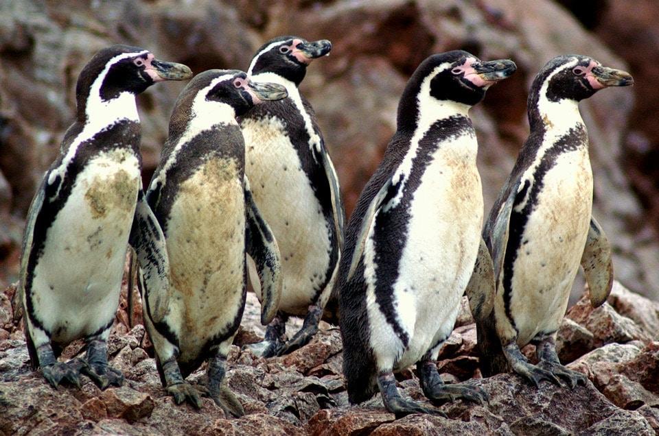 Guano złote wyspy Peru