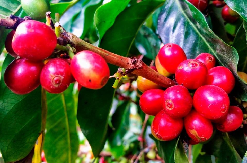 Kawa w Peru