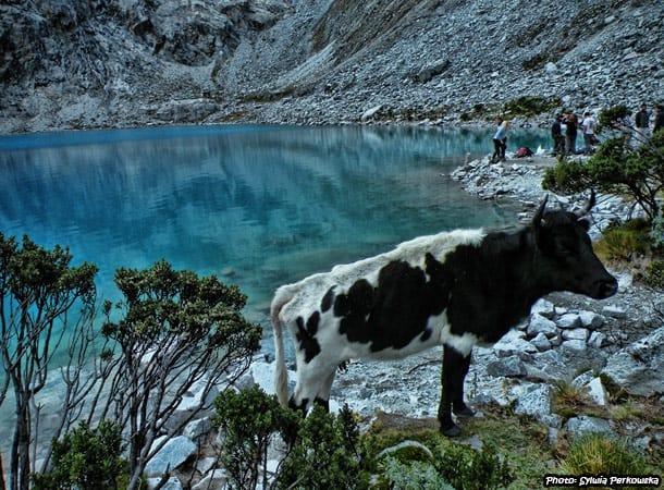 Cows in peruvian Andes