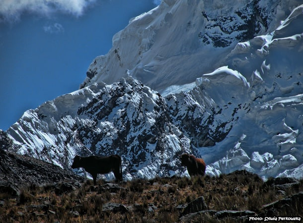 Cows in Andes