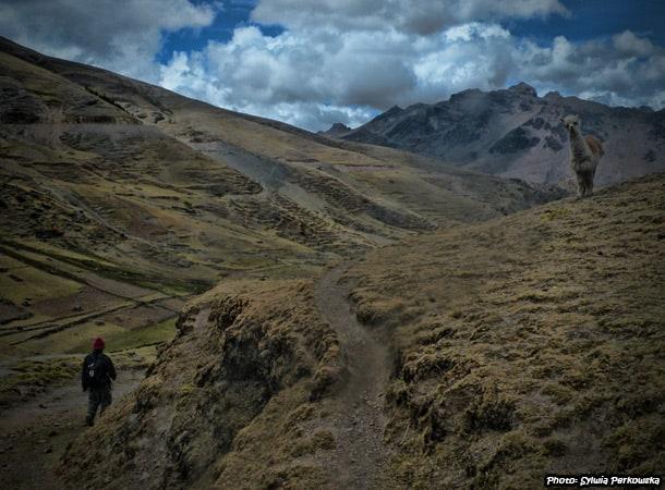 Alpacas and llamas in peruvian Andes