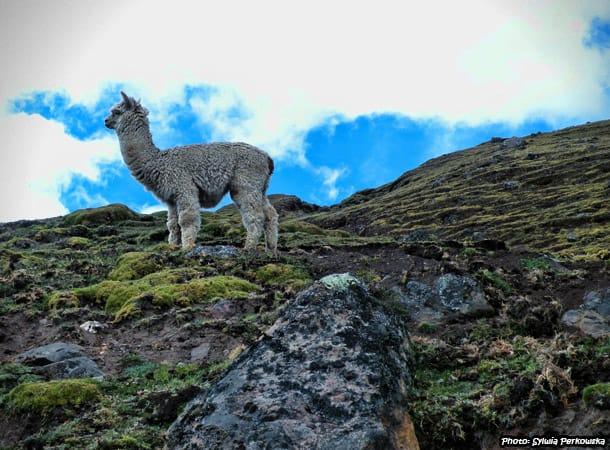 Alpacas and llamas in Andes