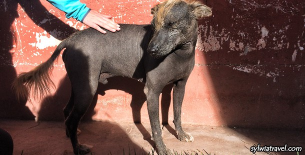 Did you see Peruvian Hairless Dog