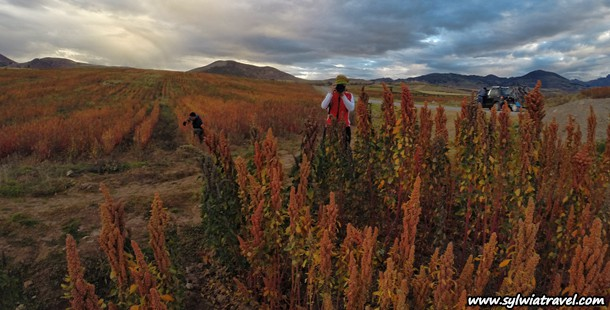 Biking tour to Moray and Maras with quinoa in the foreground