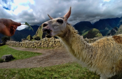 Llamas And Alpacas! Where You Can Admire These Beautiful Animals?