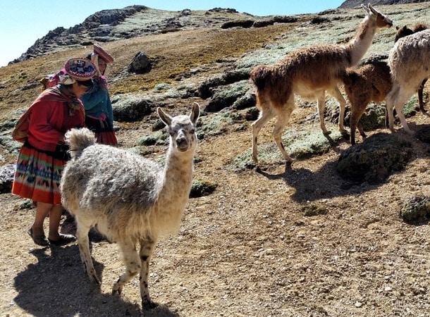 Lama z Peru