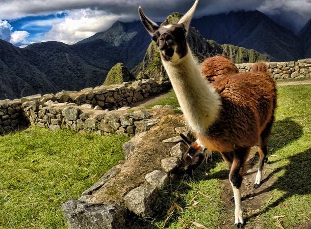 Lamy w Machu Picchu