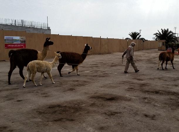 Llamas-in-Lima