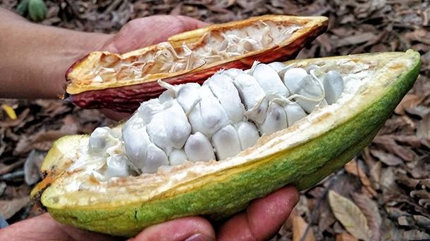 Owoce kakao w Peru