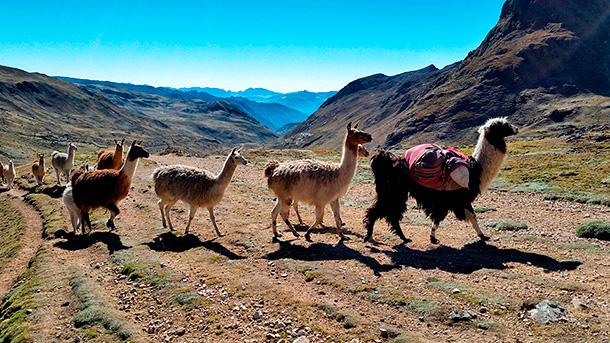 Wyprawy do Peru i trekkingi w gronie stada lam