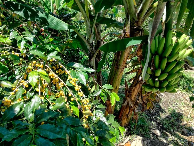 Peru kawa arabica