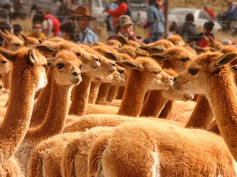 Festiwale w Peru - el chaccu
